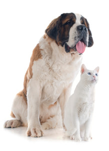 St Bernard and White Cat
